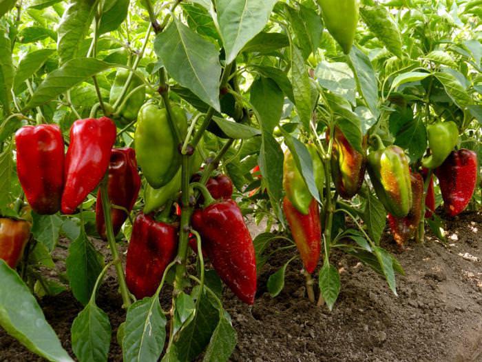 Сбор последних плодов перца Винни-Пух в теплице без обогрева приходится на последнюю декаду октября